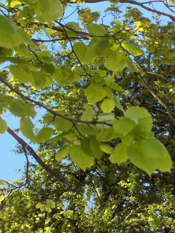 Tilleul tilia platyphillos scop - Tilleul a grandes feuilles ...